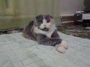 Ищу кота для вязки