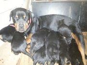 Продам щенков ротвейлера с родословной,  с документами в Шымкенте